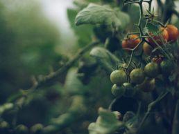 Cherrytomaten aus unserem Anbau