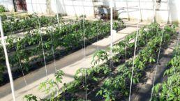 Junte Tomatenpflanzen in der Gärtnerei Orangerie Aukamm