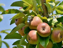 Obstbaumschnitt und Streuobstwiesenpflege