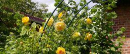 Kletterrose schmückt den Vorgarten